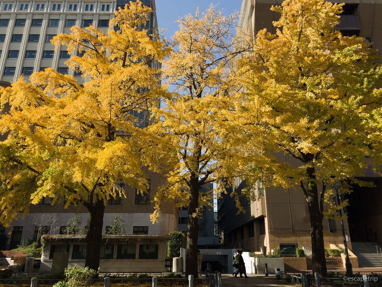 日本大通りのイチョウの紅葉その2