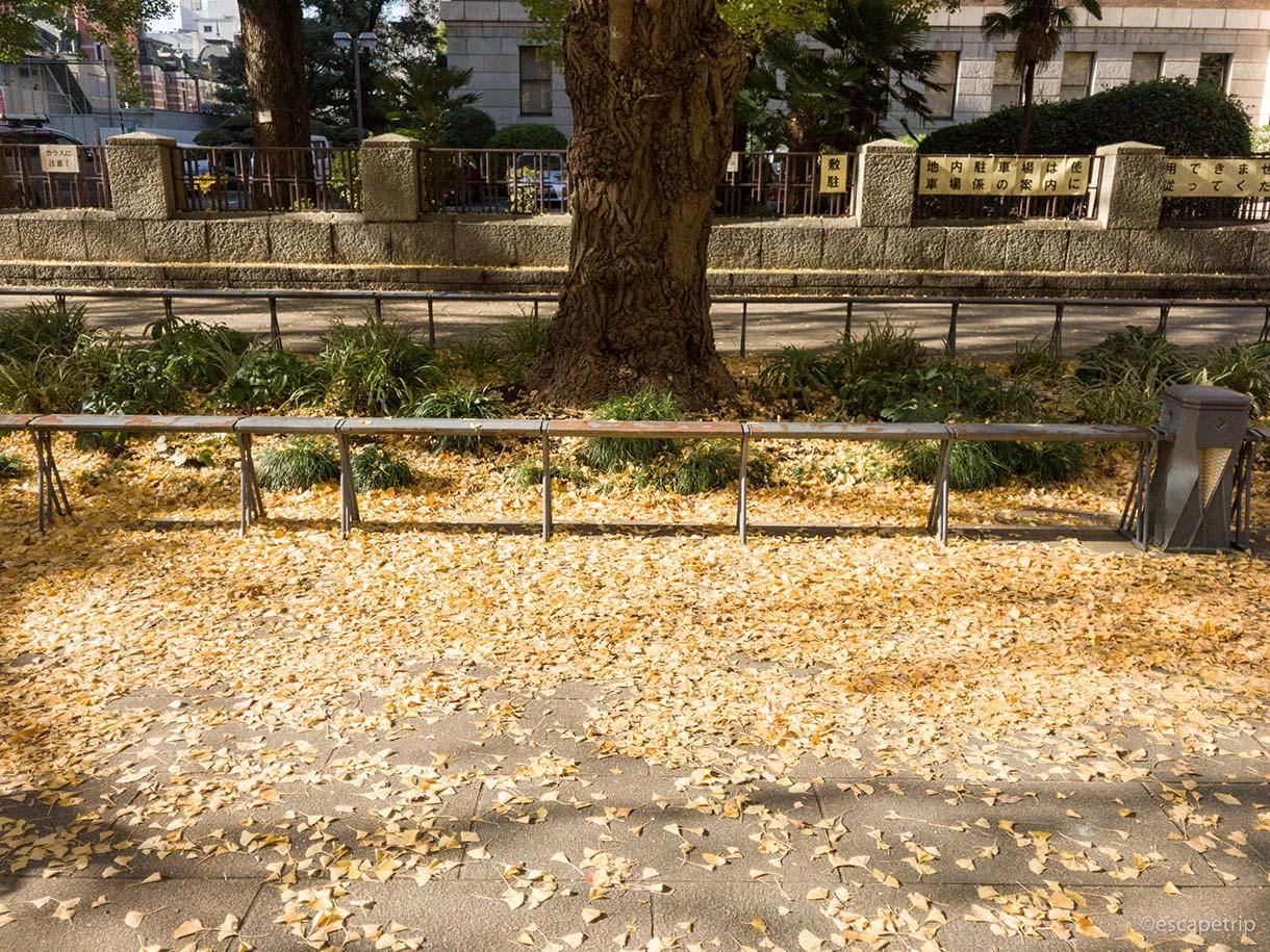 日本大通りのイチョウの紅葉その3