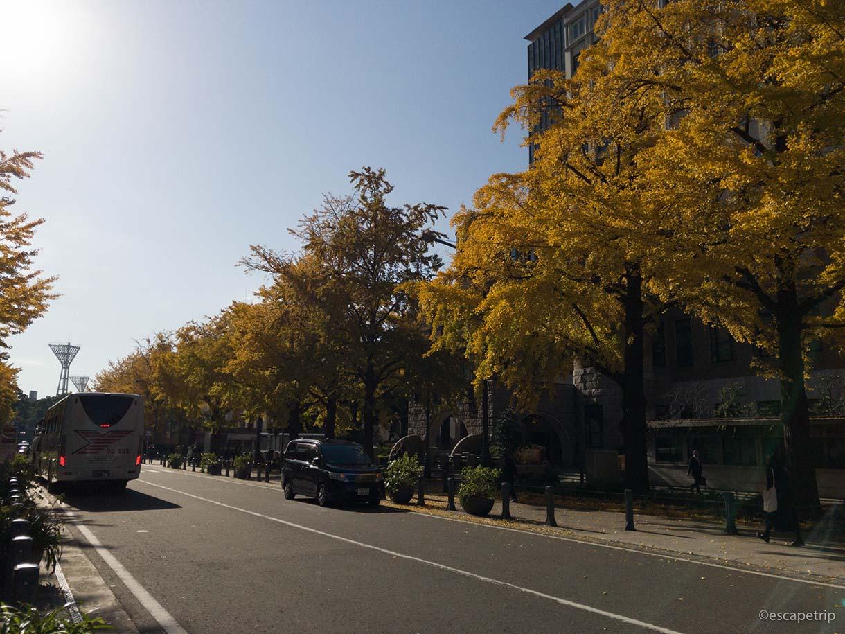 日本大通りのイチョウの紅葉その5