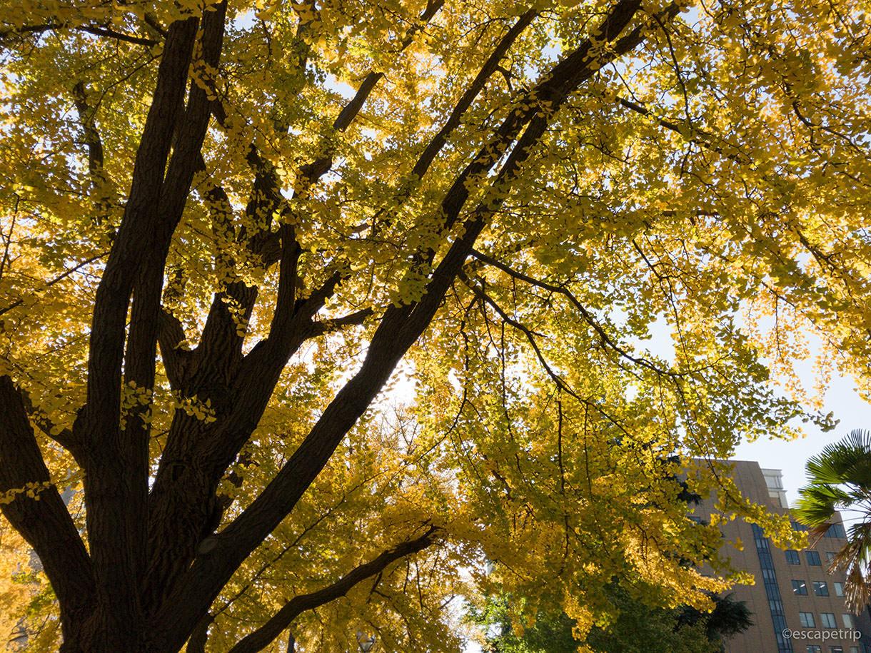 日本大通りのイチョウの紅葉その4