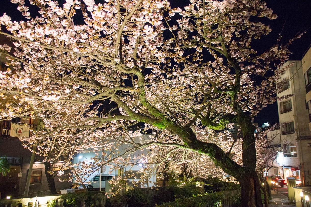 1月に咲くあたみ桜