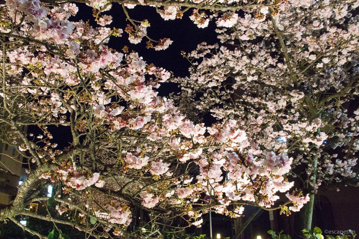 あたみ桜の夜