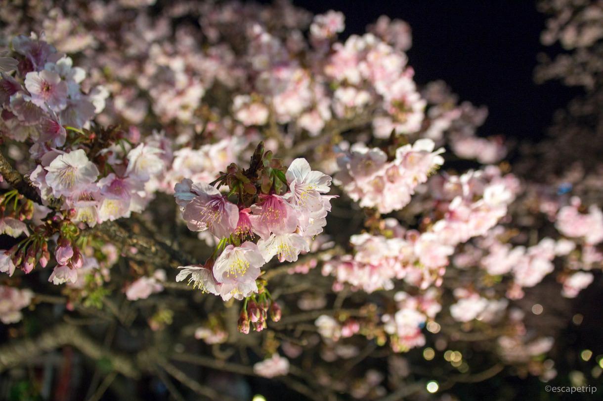 あたみ桜のアップ