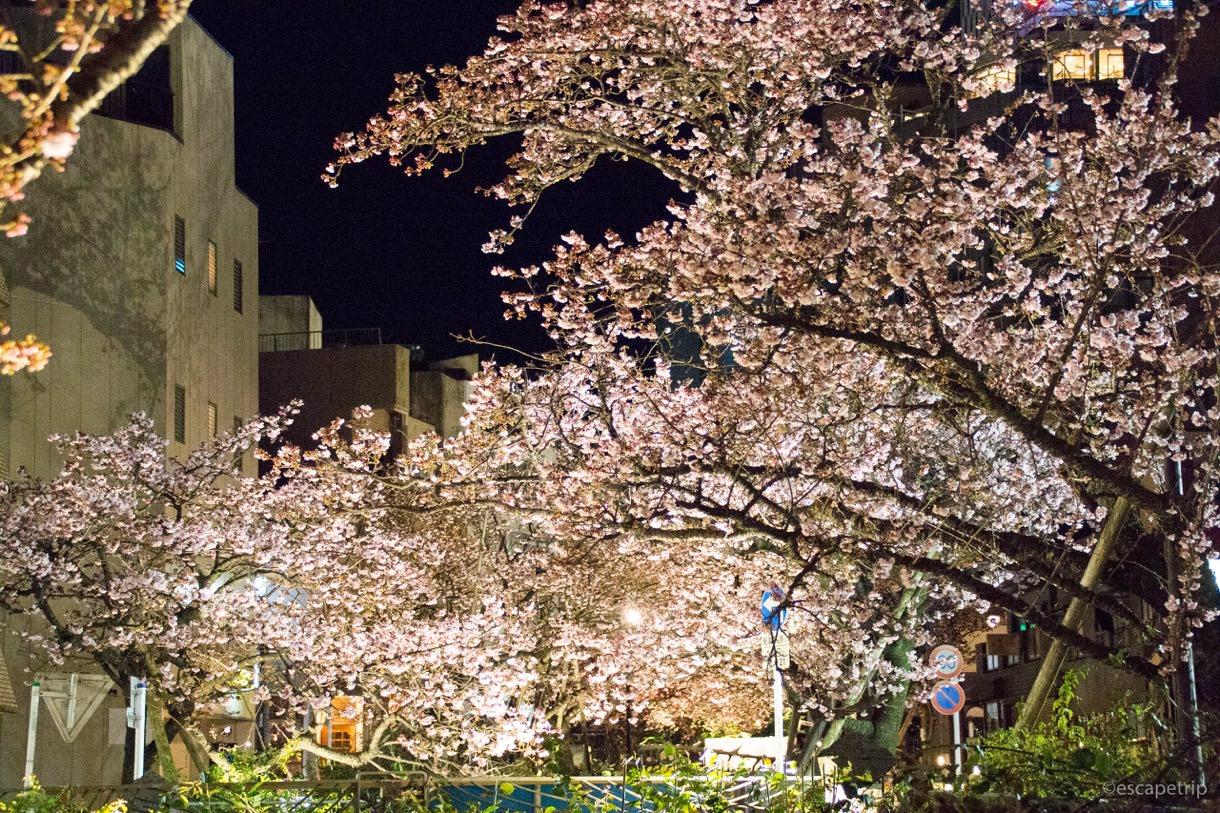 ライトアップされたあたみ桜