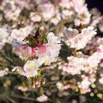 あたみ桜の紹介記事のアイキャッチ