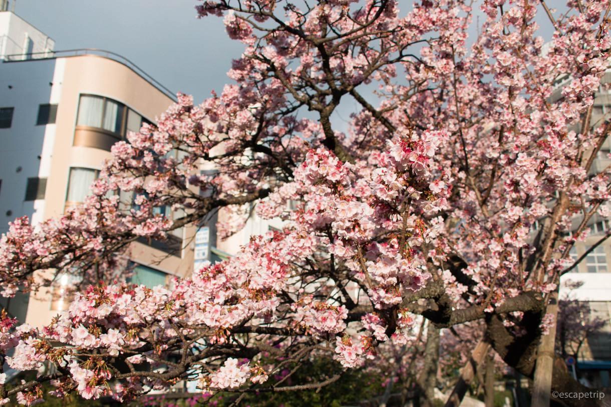 1月のあたみ桜その1