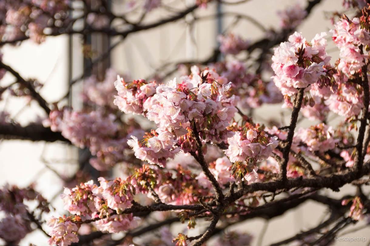 1月のあたみ桜その2