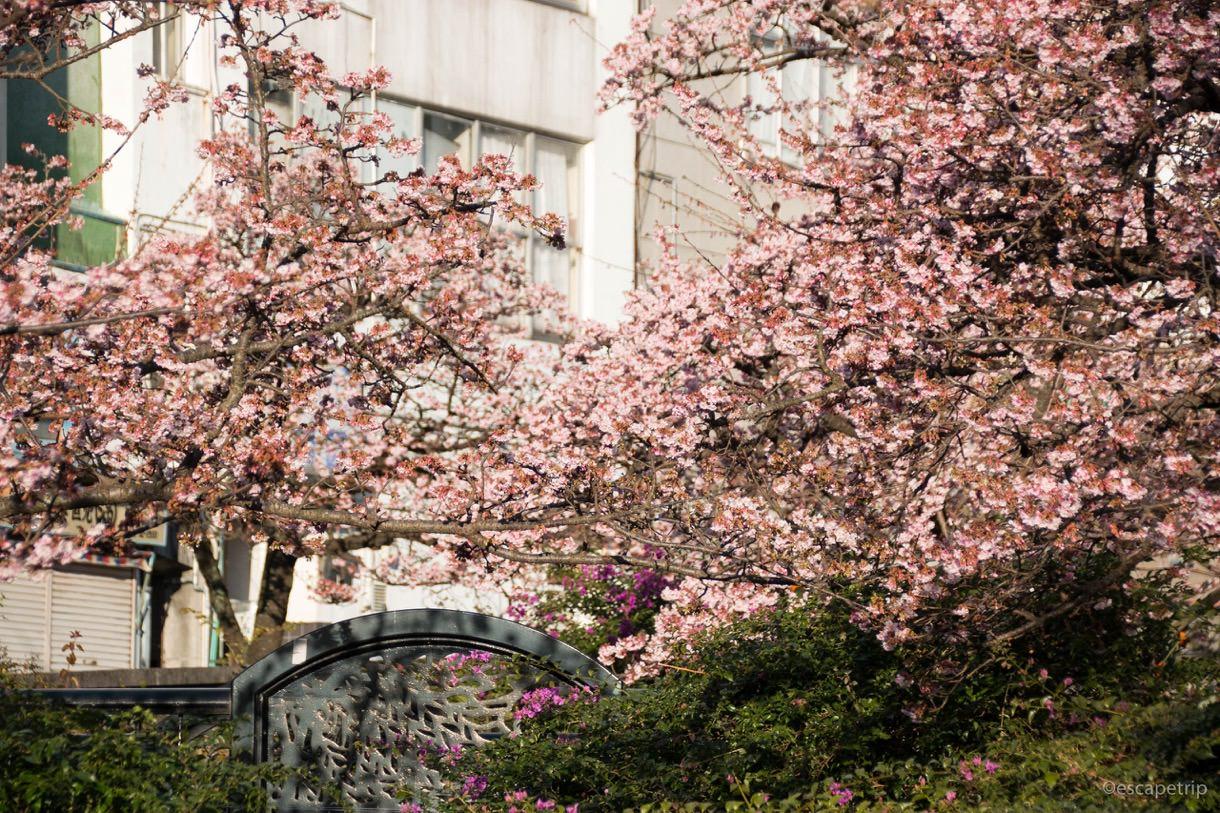 1月のあたみ桜その3