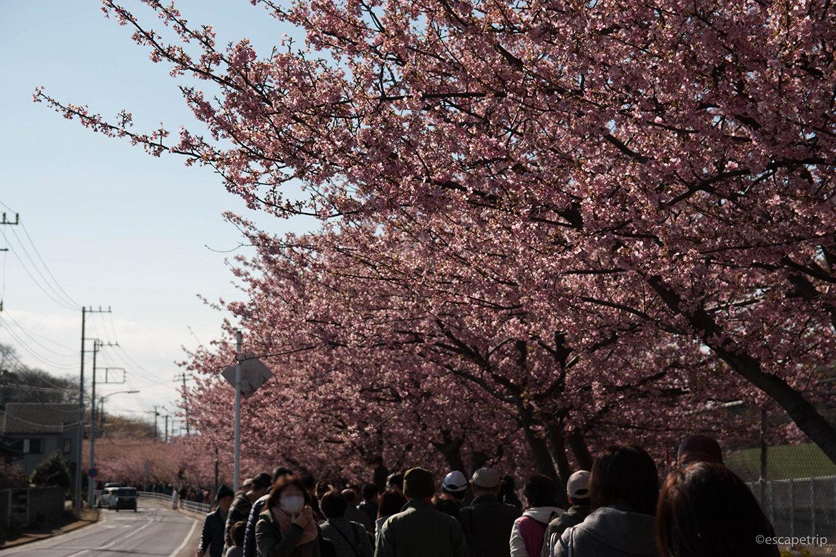 三浦海岸桜まつりの桜並木