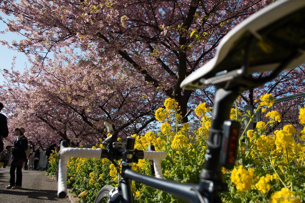 桜と菜の花のコントラスト