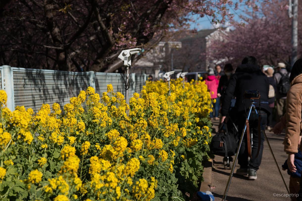 三浦海岸桜まつりの菜の花