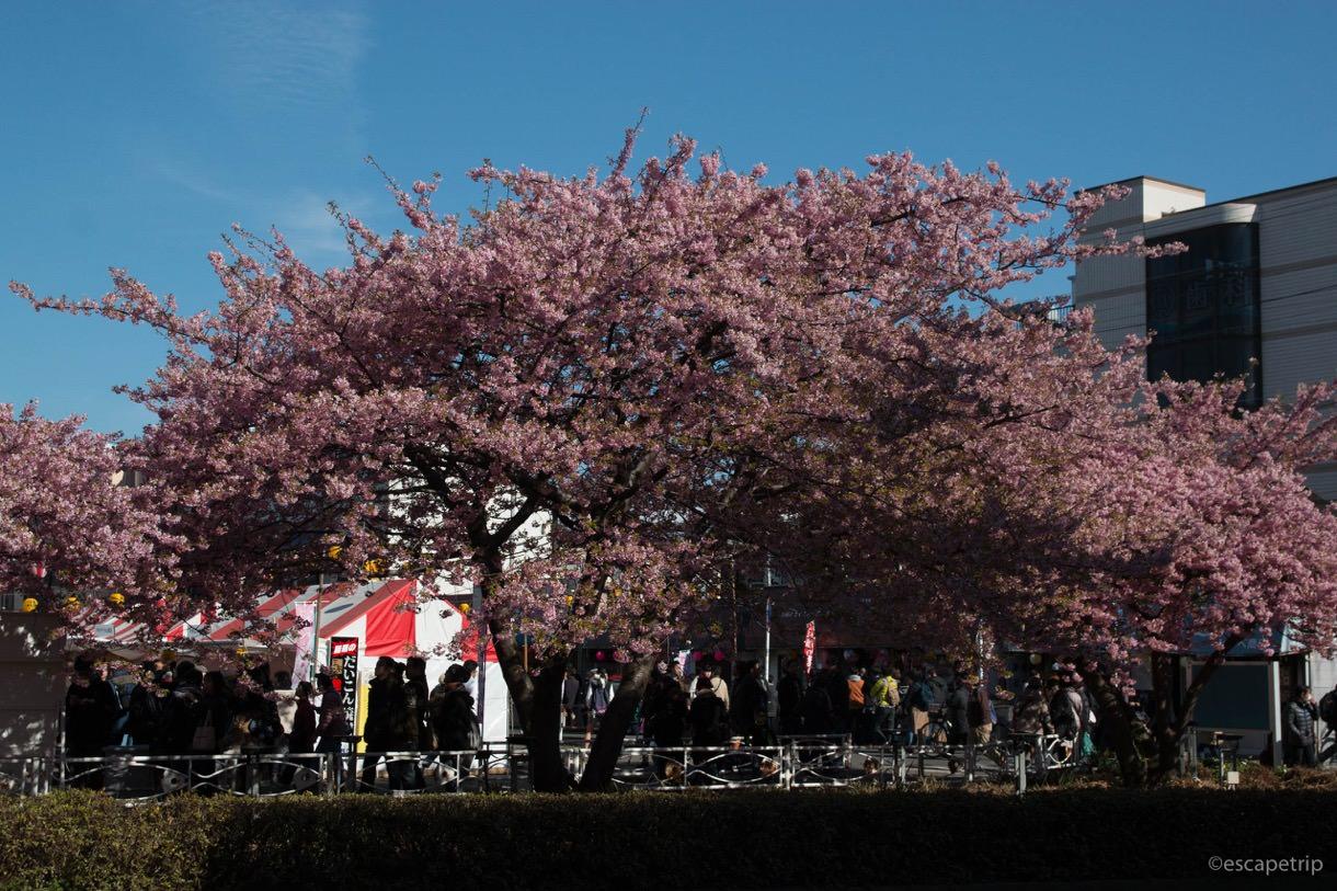 三浦海岸駅前の河津桜