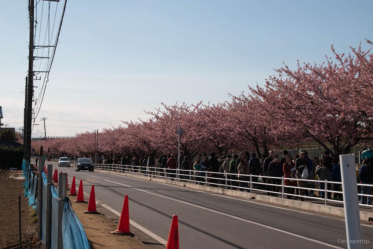 三浦海岸駅から小松ヶ池公園へ向かう桜並木