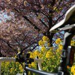 三浦半島の「河津桜」を自転車で見てきた!早咲きの河津桜は3月上旬まで見ごろ【三浦海岸桜まつり】