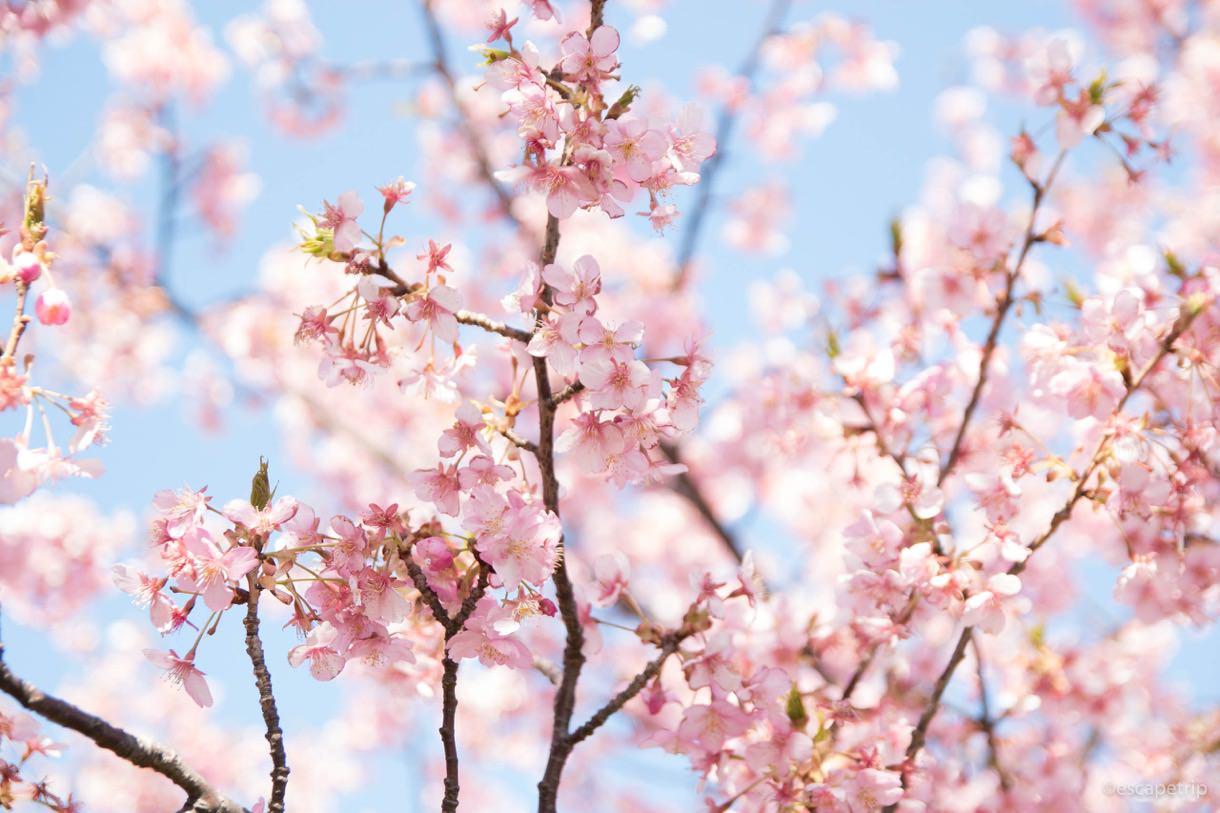 三浦海岸桜まつりの河津桜