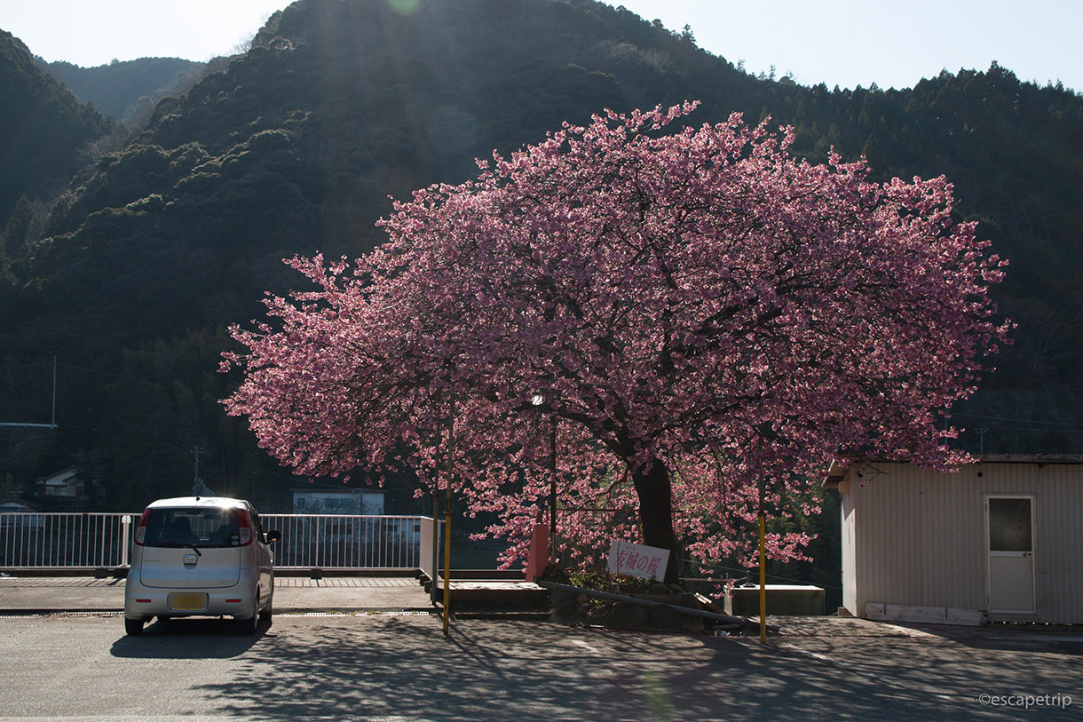 伊豆河津町の桜