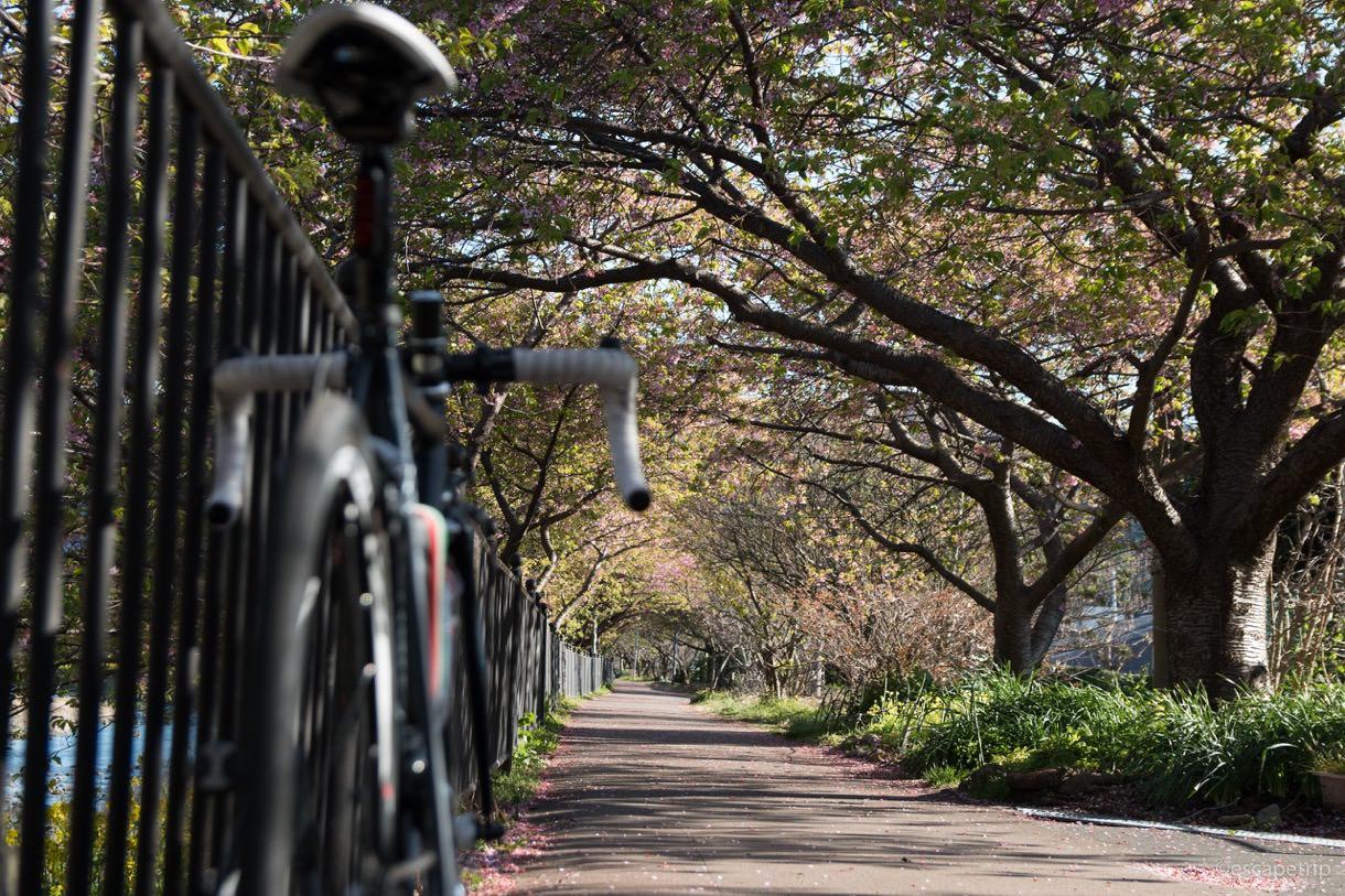 河津桜のトンネルと自転車