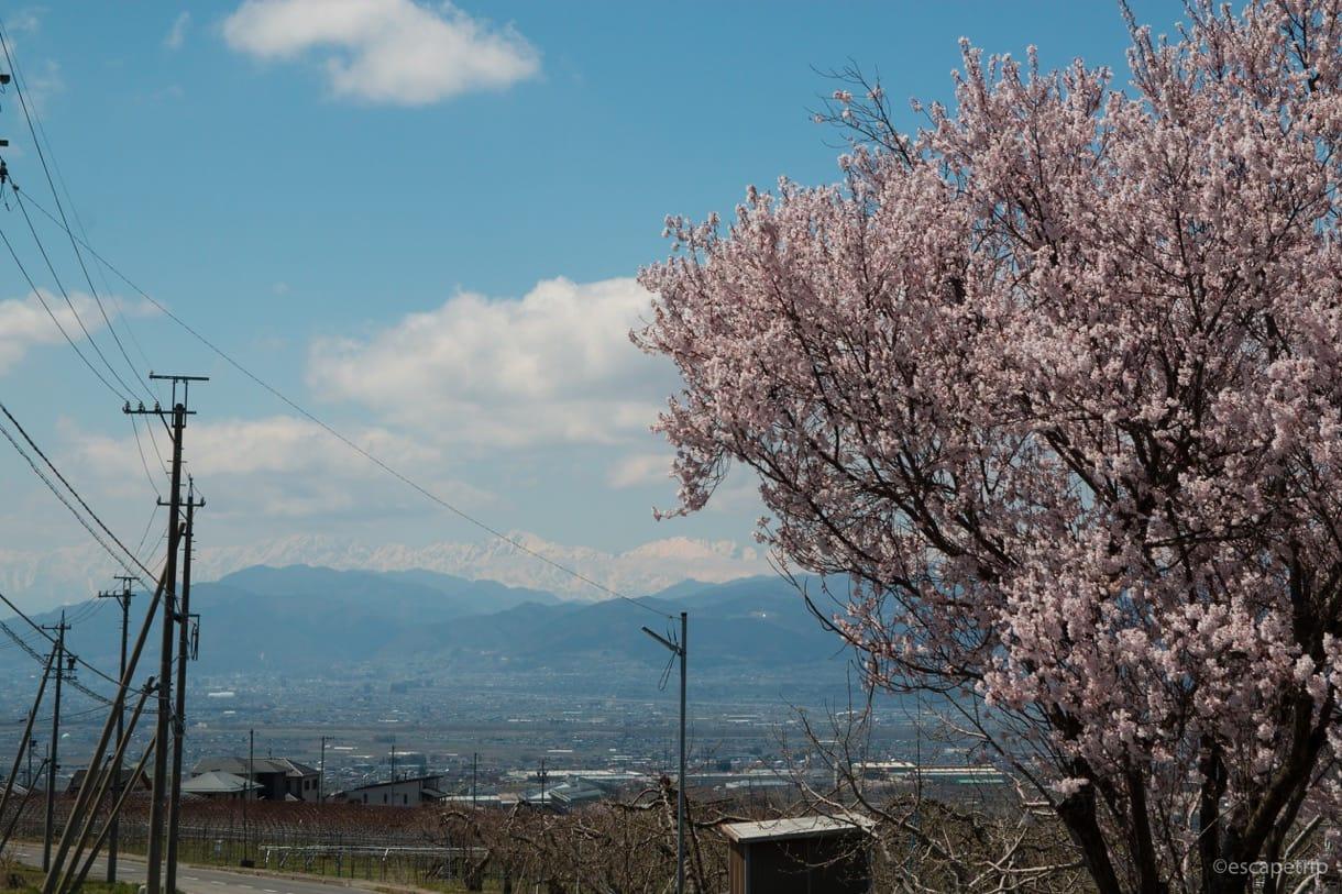 桜とアルプスの山々