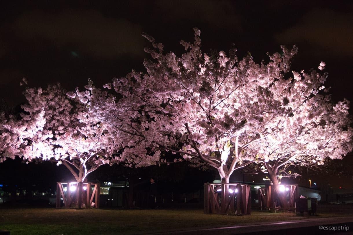 みなとみらい赤レンガ倉庫の桜ライトアップ