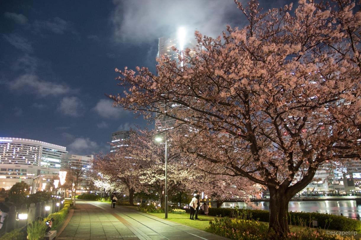汽車道の桜その2