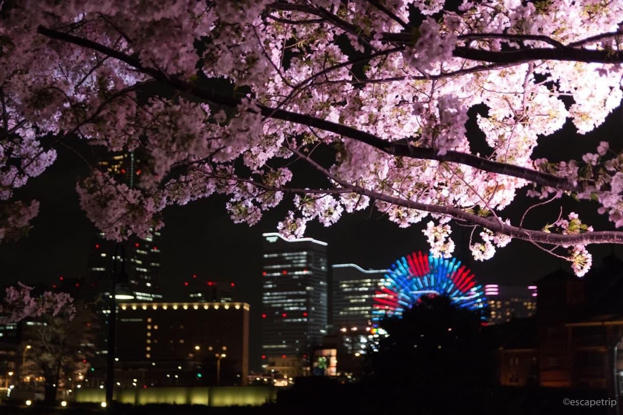 ライトアップされた桜とみなとみらいの夜景