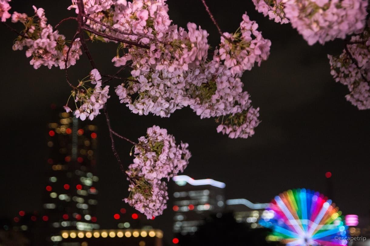 夜桜とみなとみらいの夜景