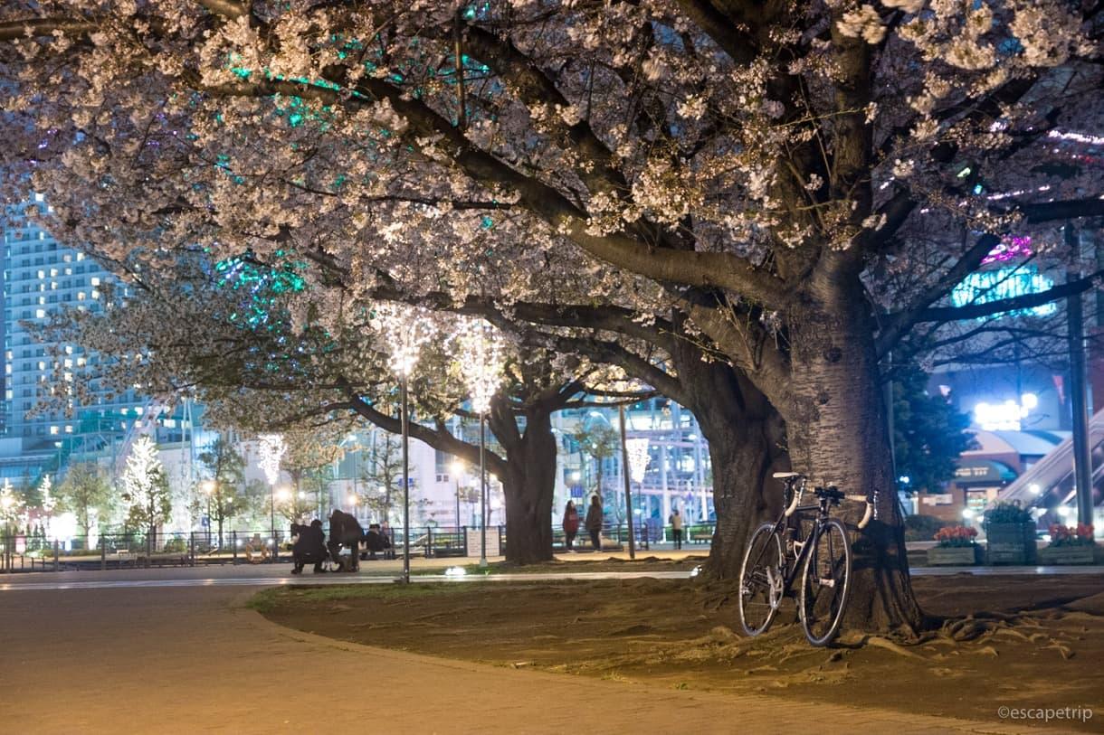 運河パークの桜とロードバイク