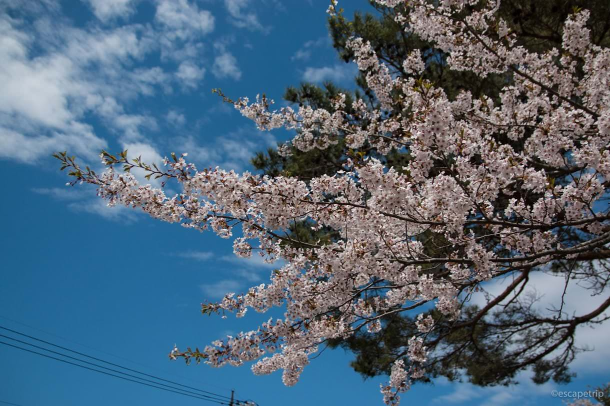 山中湖の桜