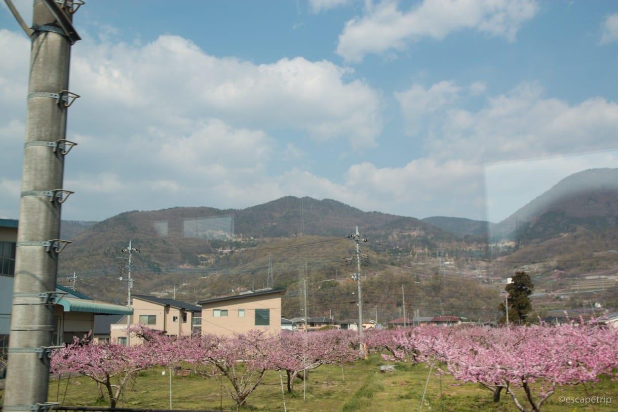 車窓から見える桜