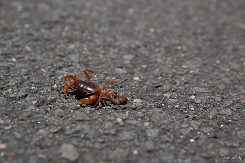 道を歩くサワガニ