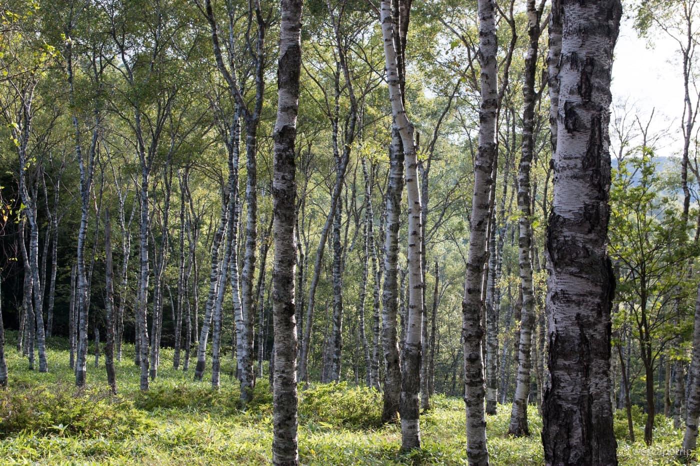美ヶ原の白樺林