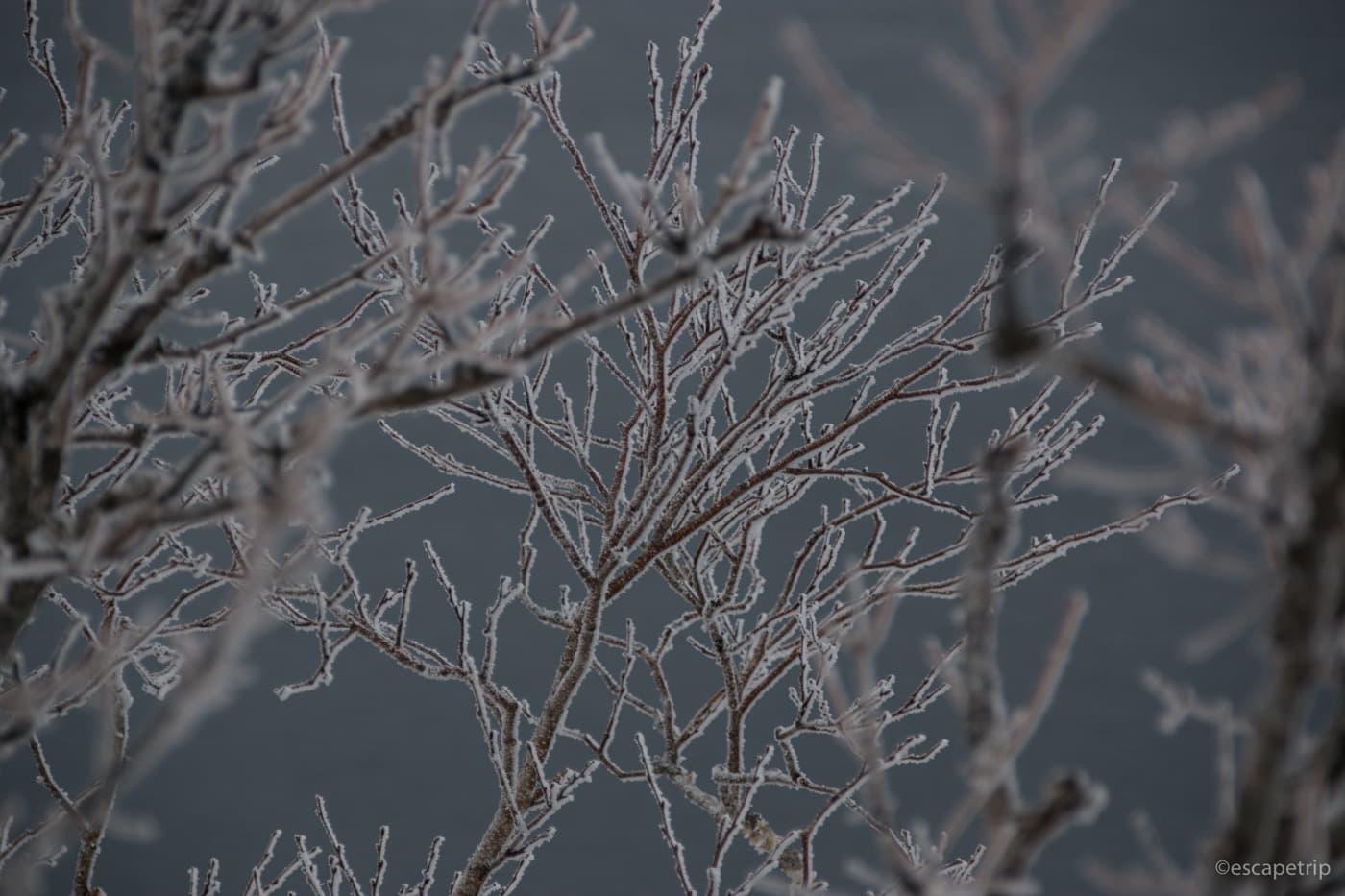 枝についた霜