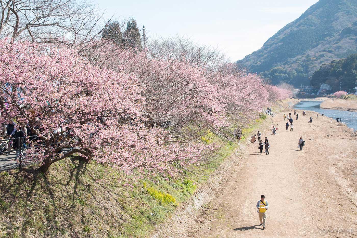 河津桜と河川敷