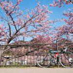 【春】伊豆の「河津桜」満開ライド! 川沿いの桜並木は壮観