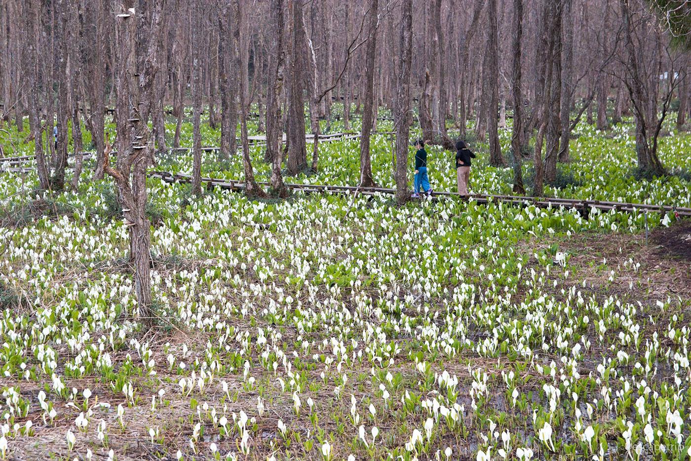 水芭蕉の群生地