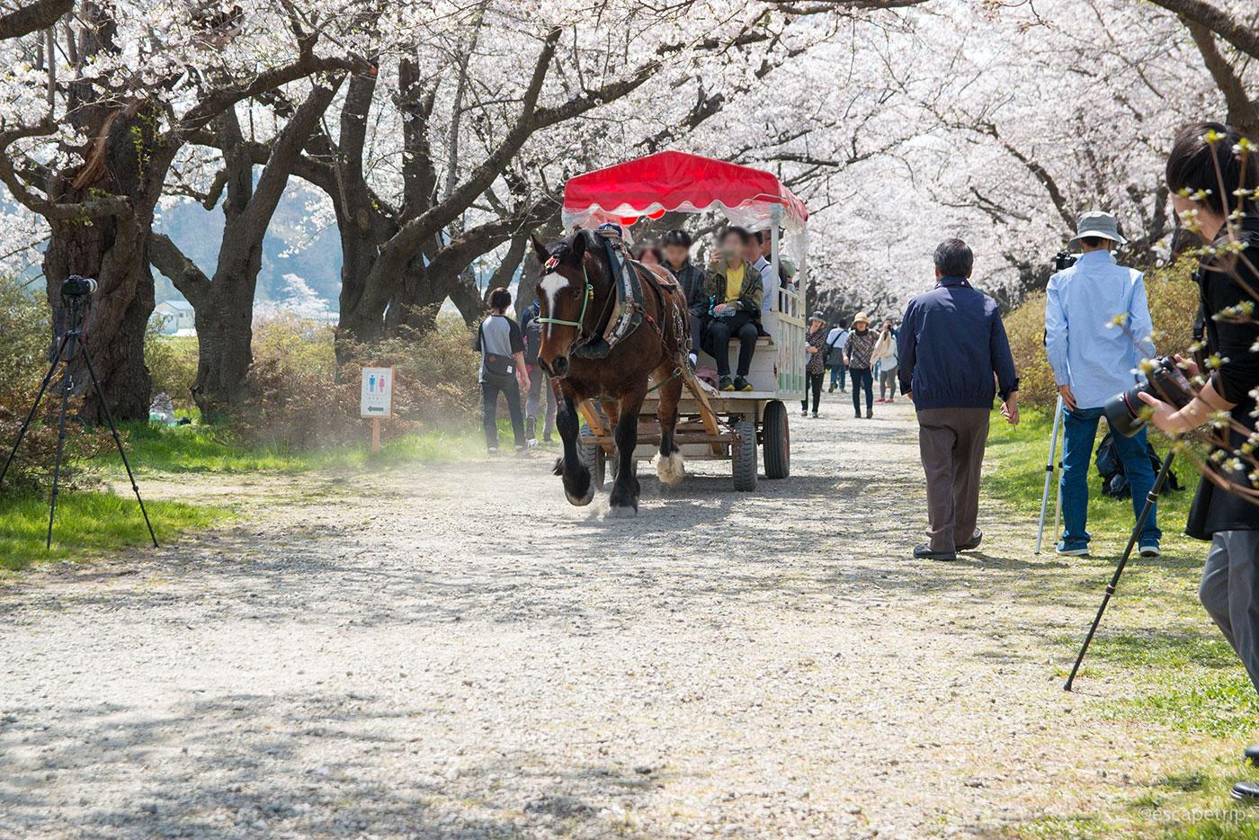 北上展勝地の観光馬車と桜のトンネル