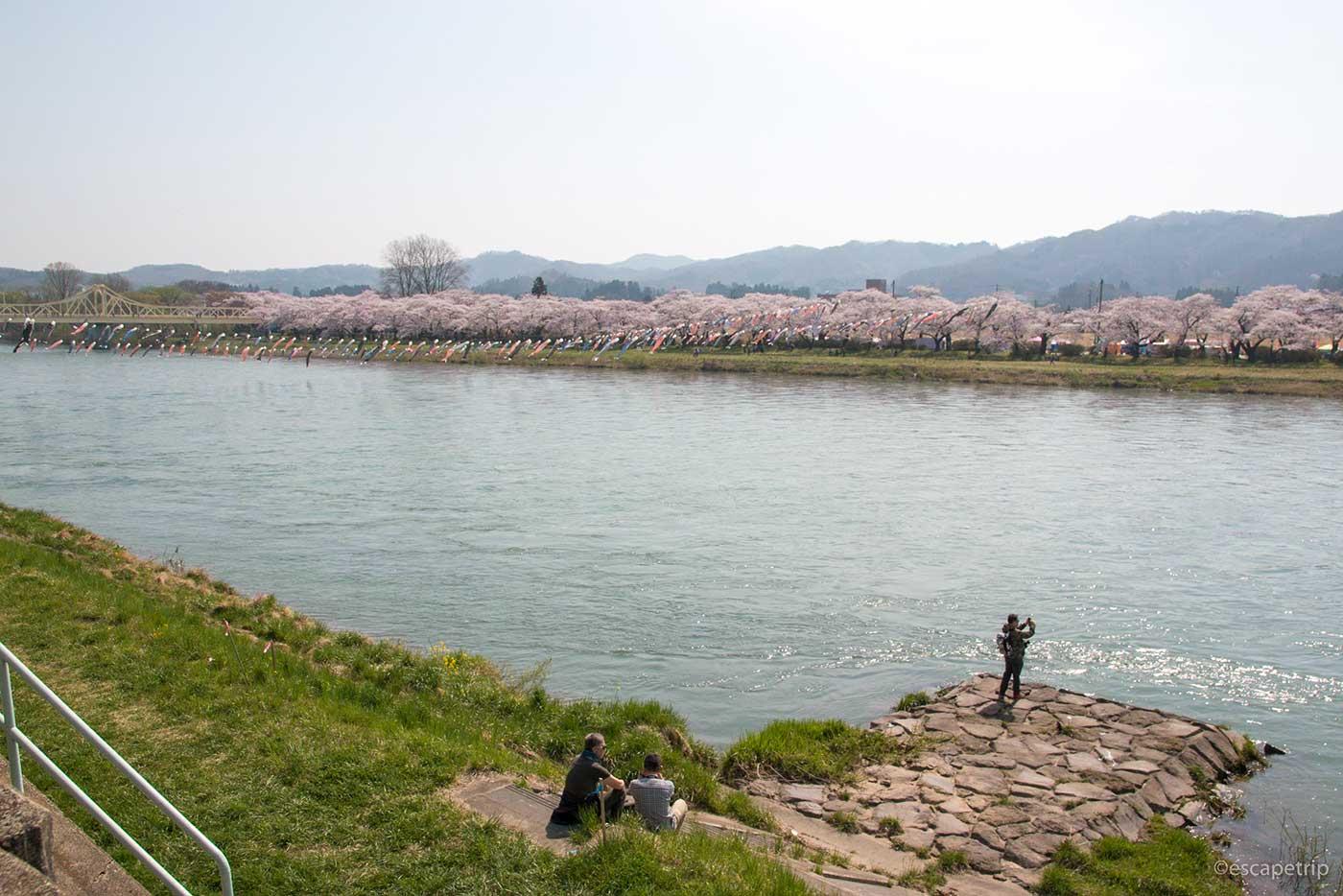 北上展勝地の桜と鯉のぼり