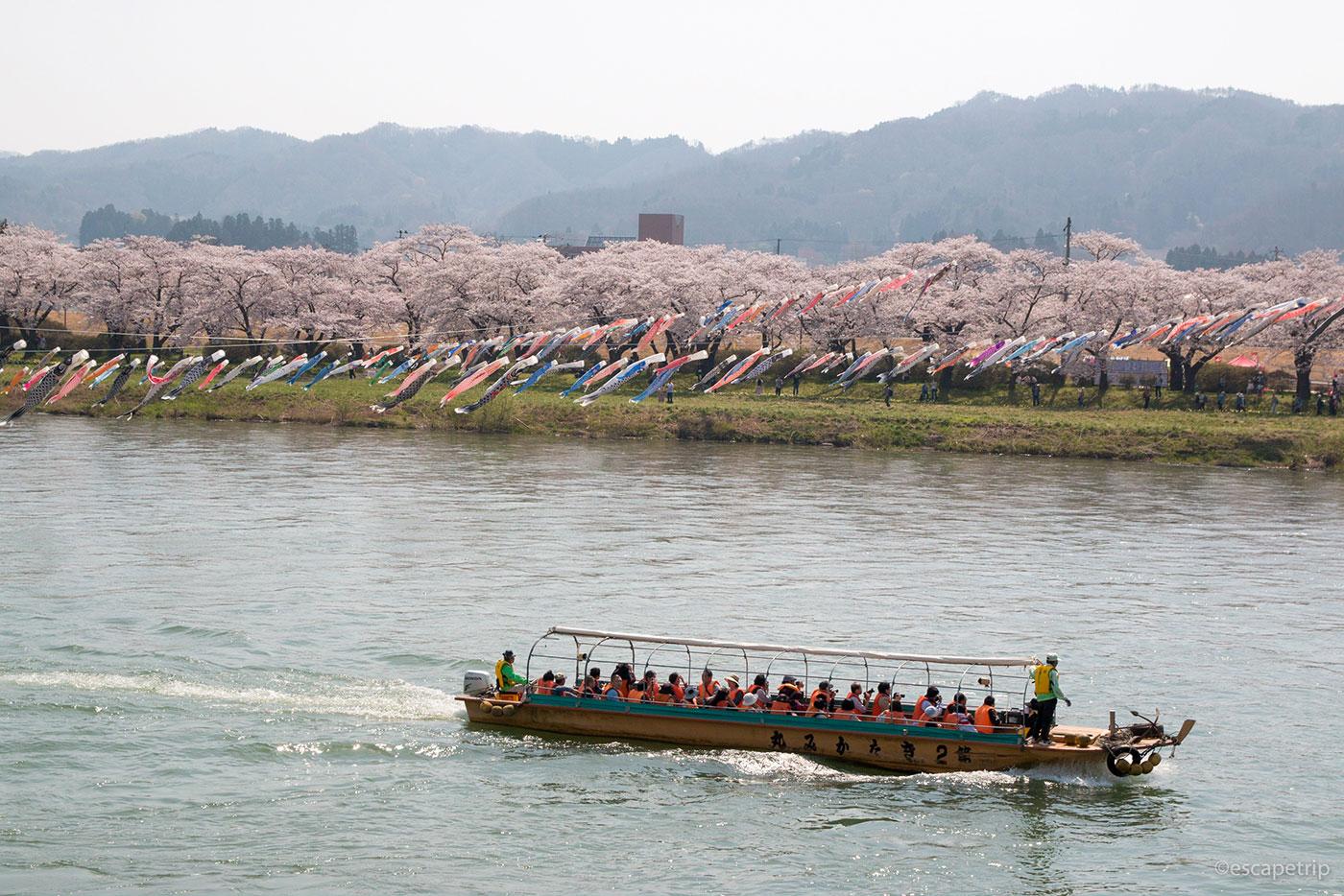 北上展勝地の桜と鯉のぼりと渡し船
