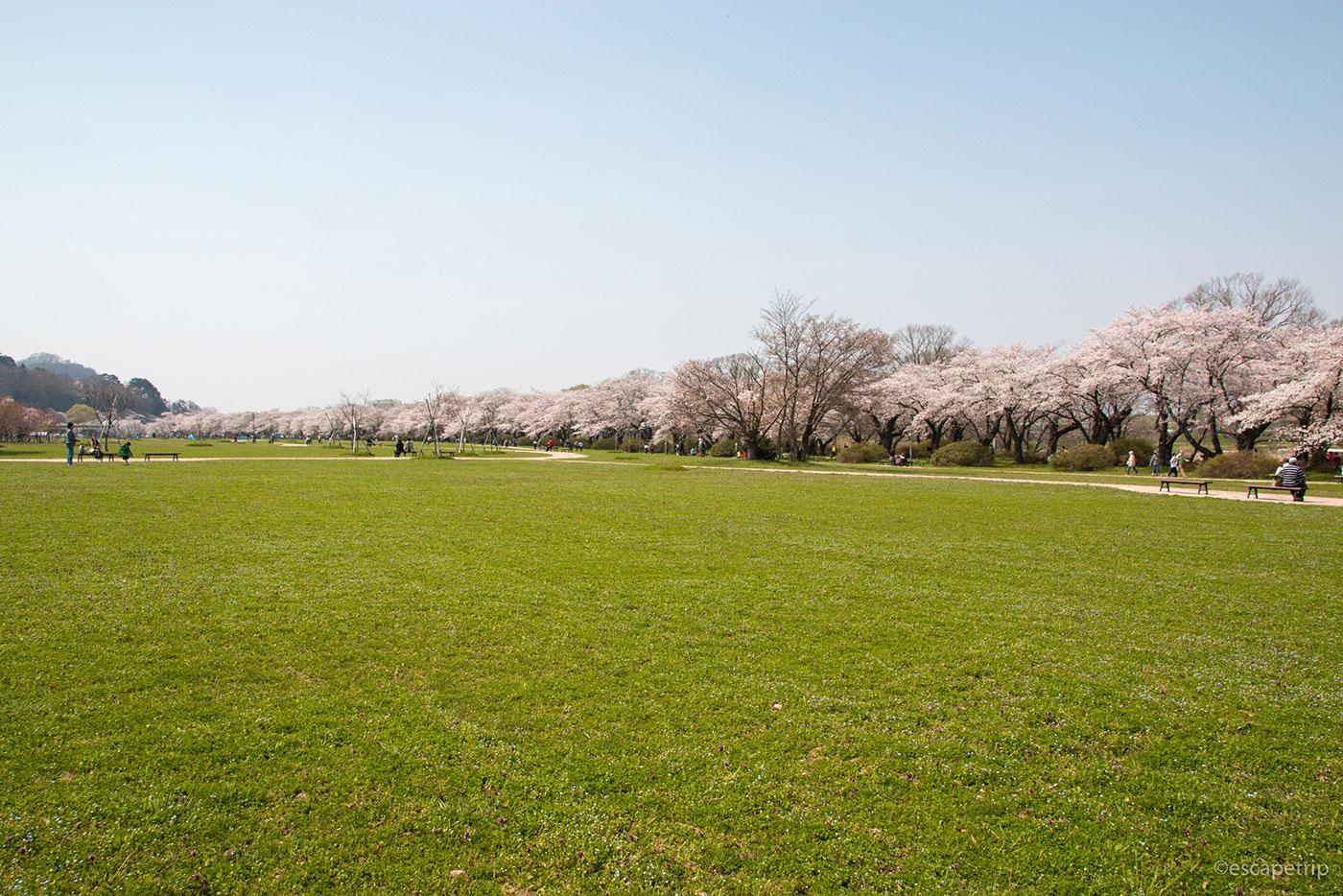 北上展勝地の芝生と桜