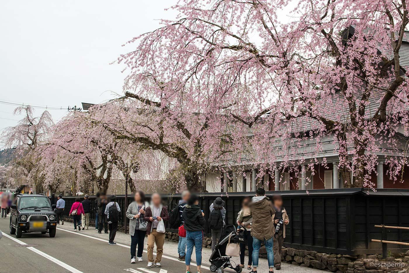 角館の武家屋敷と桜