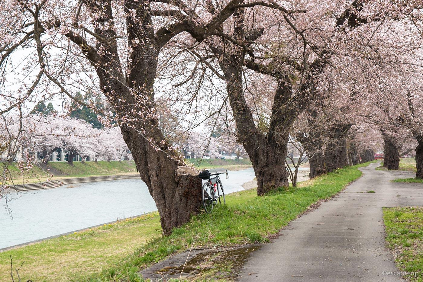 桜と川とロードバイク