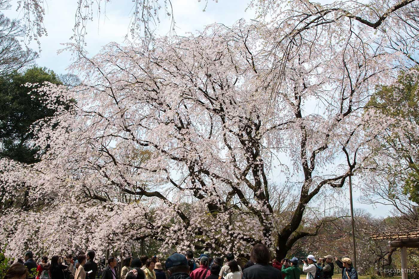 六義園の枝垂れ桜
