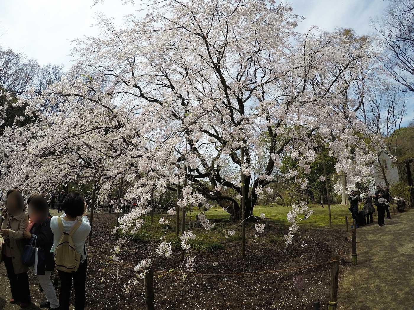 枝垂れ桜を広角レンズで撮影