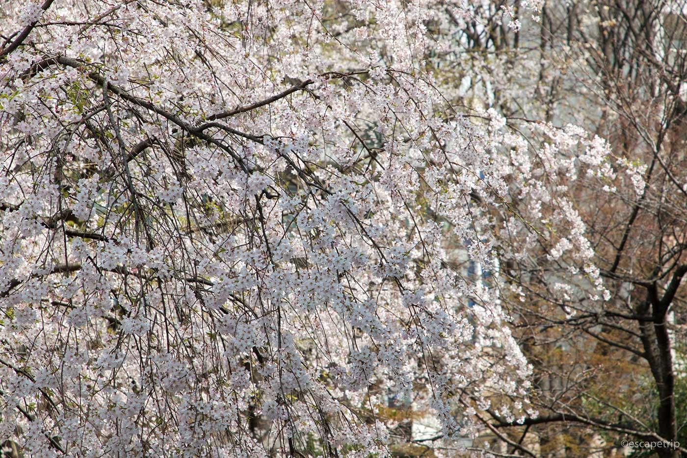 桜が垂れる
