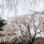 【桜の名所】六義園の「しだれ桜」を見て写真撮りたいだけの記事