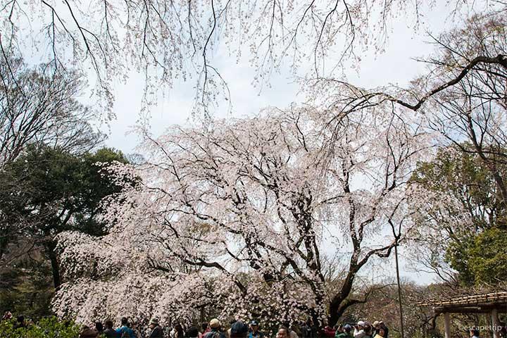 六義園のしだれ桜アイキャッチ