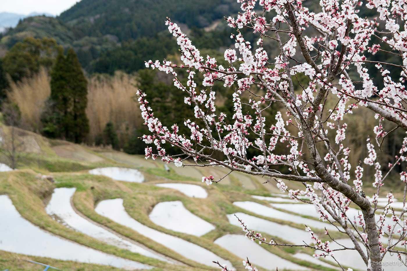 桜と大山千枚田