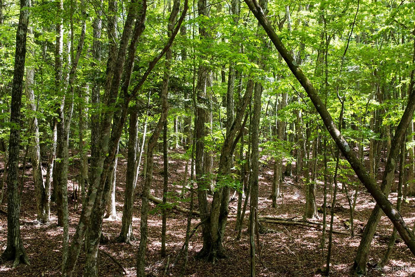 青木ヶ原樹海の森
