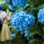 鎌倉「明月院」あじさいの写真撮ってきた。梅雨の時期だけ見られる明月院ブルー