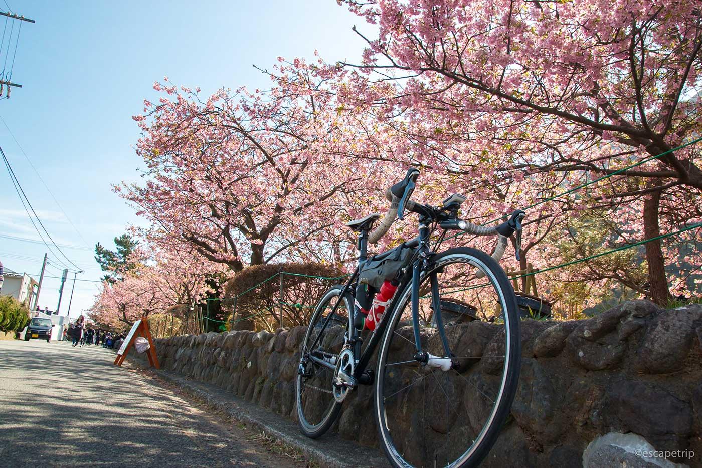 伊豆の河津桜その4